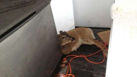 A deer is cornered at the Harbor Crab