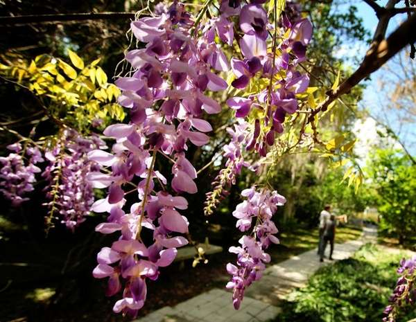 Blooming wisteria at Kanapaha Botanical Gardens in Gainesville,