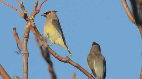 A Ceder Waxwing was one of the birds