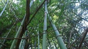 Bamboo in the Town of Huntington. (June 20,