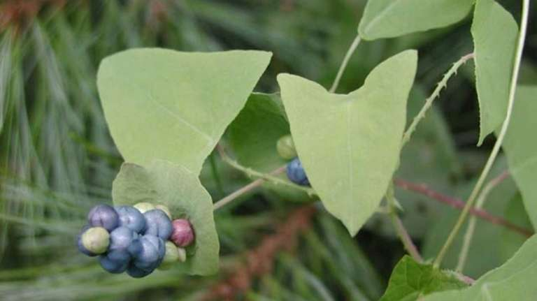 Persicaria perfoliata, also known as