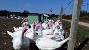 Turkeys at Miloski's Poultry Farm in Calverton. (Oct.
