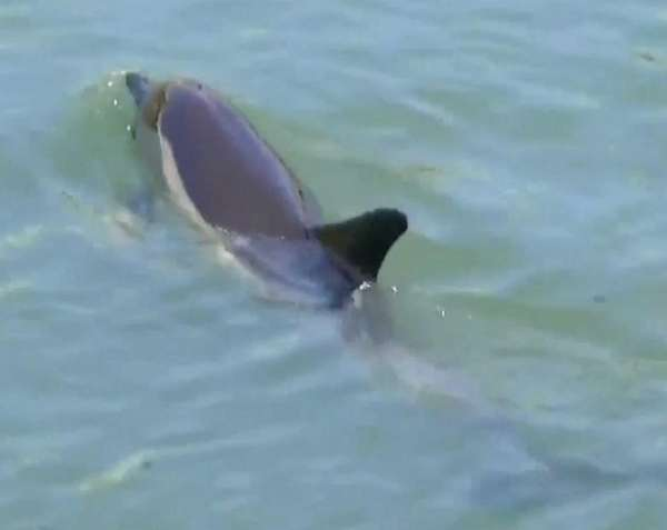A dolphin was seen swimming in the Coney