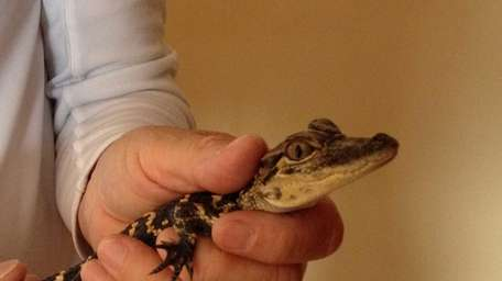 Police found the13-inch alligator in a tank in