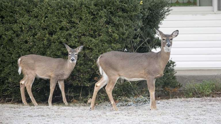 Deer are seen in front of homes in