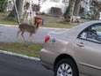 A deer grazes in Mastic Beach this past