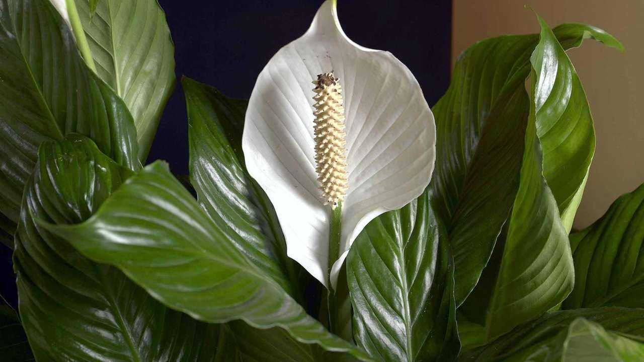 Garden detective a peace lily with a violent smell newsday izmirmasajfo