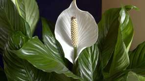 Spathiphyllum, also known as the peace lily, is
