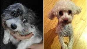 Left: A gray and white Lhasa apso found