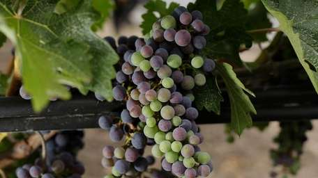 Cabernet Sauvignon grapes ripen at the Opus One