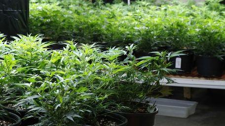 Pot plants mature inside a grow house, later