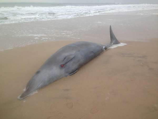 A rare beaked whale washed ashore in Southampton