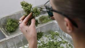 An employee trims pot plants to be sold