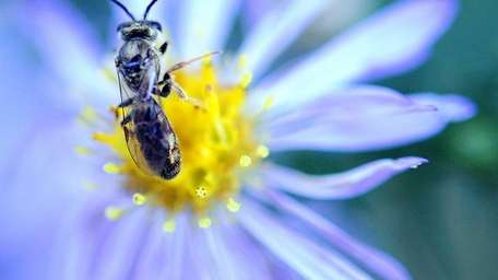 The pollen of an aster bloom in Bellmore