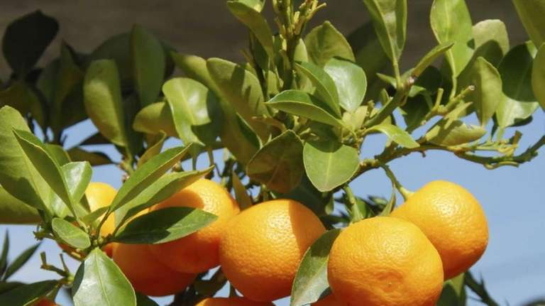 Citrus trees can be grown indoors successfully, but