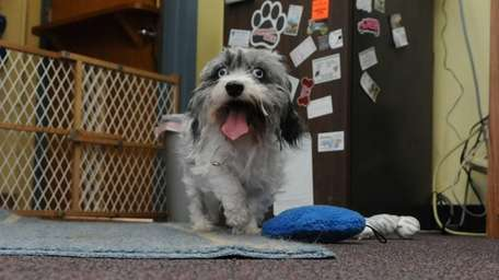 A gray and white Lhasa apso found by