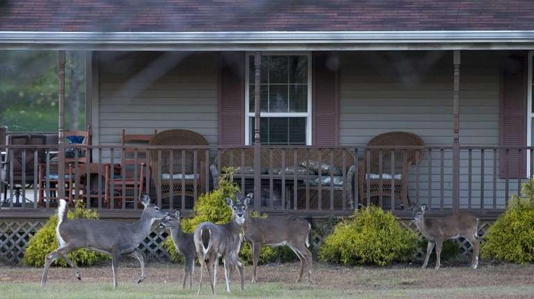 White-tailed deer intrude on the property of a