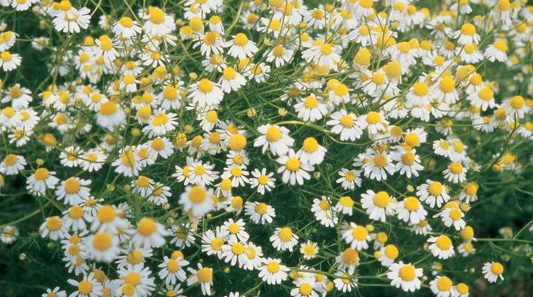 Planting chamomile helps repel cabbage moths.