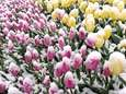 Blooming tulips in the freshly fallen snow at