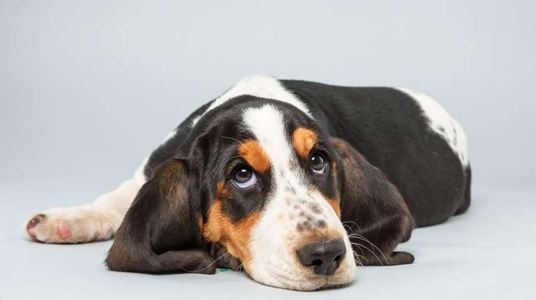 Lily, a basset hound who lives in Sayville,
