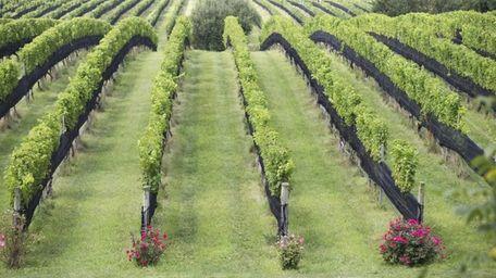 Paumanok Vineyards in Aquebogue.