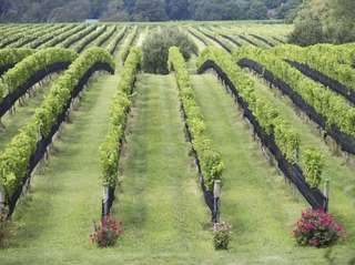 Paumanok Vineyards in Aquebogue.