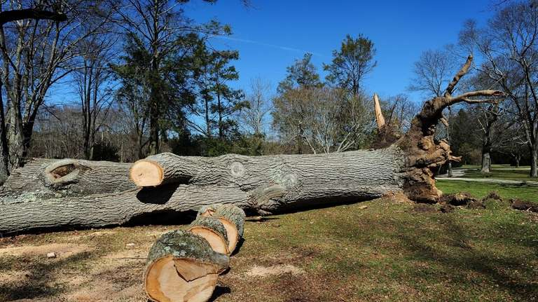 An oak tree that was uprooted by a