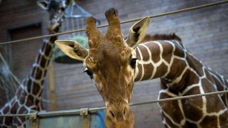 A healthy young giraffe named Marius who was