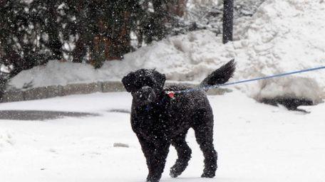 Anneke Gaber, of Huntington, walks her dog Ebony,