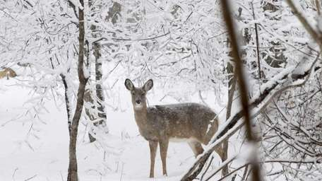 A deer is seen in Southold during an
