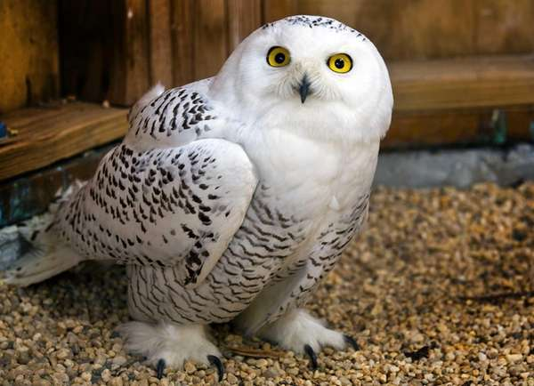 An injured snowy owl is shown at Bailey