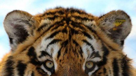 A Siberian tiger in Harbin, China. Some estimate