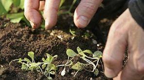 Christo Brock plants seedlings of mesclun mix in
