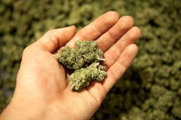 Marijuana has become much more potent in the
