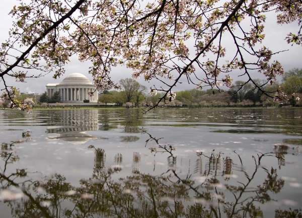 The Jefferson Memorial is seen through blooming Yoshino