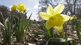 Daffodils are beginning to bloom.