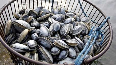 The Department of Environmental Conservation closed shellfishing areas