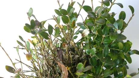 Boxwood blight is ravaging plants in the U.S.