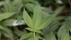 Medical marijuana clone plants are seen at a