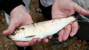Retired fisheries biologist Byron Young checks an alewife
