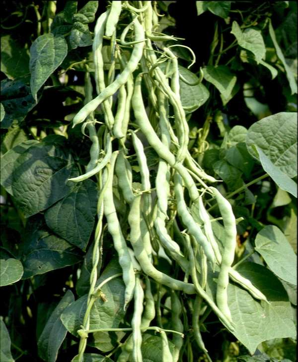 Pole Beans,