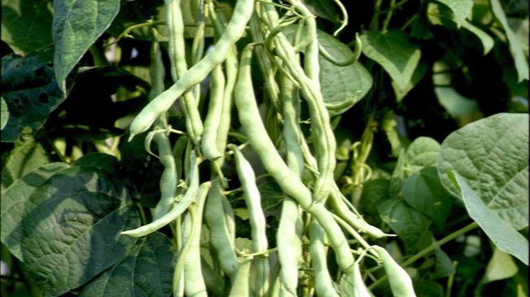 Tardy pole beans? Check your fertilizer | Newsday