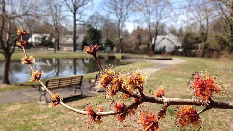 A blooming tree in Plandom Pond Park in