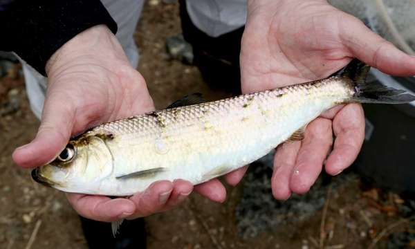 An alewife fish is shown in this file