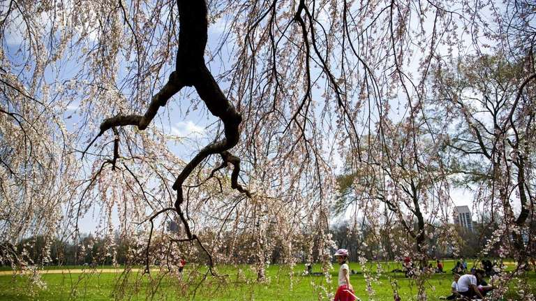 A young girl walks by flowering trees near