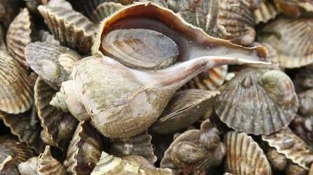 Two whelks sit on a fresh catch of