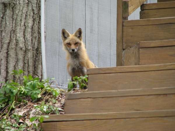 Momma fox checking on her 6 kits.