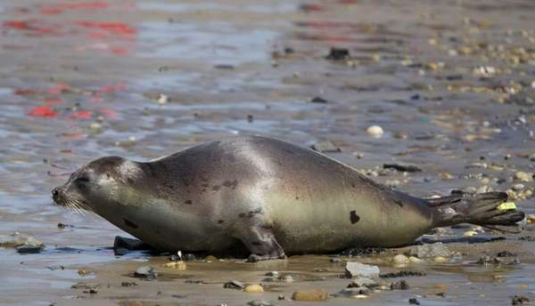 A female yearling harp seal named Nellie is
