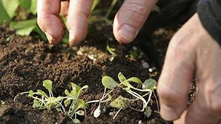 Christo Brock plants seedlings of mesclun mix in