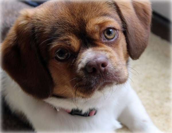 Maggie, a beagle-Pekingese mix, joined the Governale family